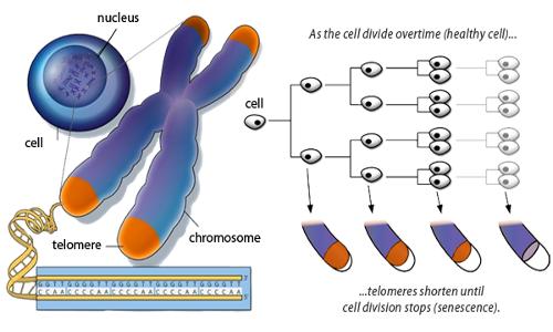 L'invecchiamento è in parte causato dall'accorciamento dei telomeri.