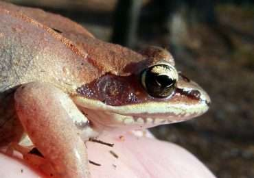 Quando la rana va in letargo assume le caratteristiche di un pezzo di legno per resistere alle bassissime temperature del suo ambiente sospendendo tutte le sue funzioni vitali.