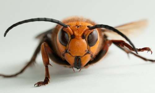 Maschio di calabrone gigante asiatico