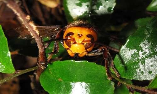 Intensità cromatica delle strutture che è evidente dall'emergenza del capo di un calabrone gigante asiatico da alcune foglie.