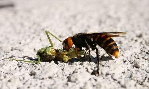 Il pasto di un calabrone gigante asiatico, una mantide religiosa.