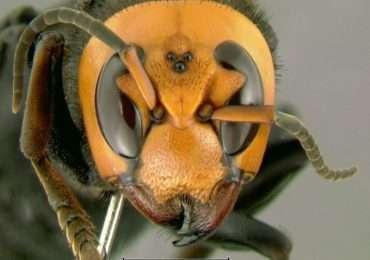 Visuale del capo del calabrone gigante asiatico con elementi anatomici tipici della superclasse degli Hexapoda