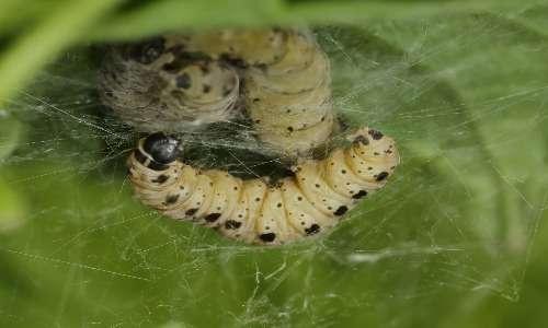 Fotografia della larva del calabrone gigante asiatico, bianca ed apode.