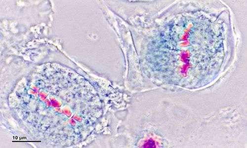 Nella sindrome di Klinefelter durante la metafase della meiosi può avvenire la non-disgiunzione.