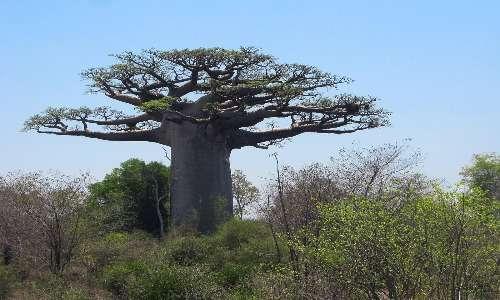 Ecosia pianta moltissime specie diverse di alberi, anche i baobab