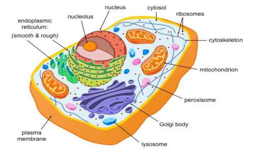 Il citoplasma e il reticolo endoplasmatico rugoso sono i comportaimenti cellulari più ricchi di ribosomi.