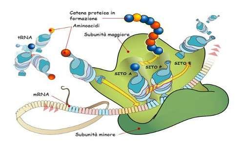 I ribosomi sono costituiti da RNA ribosomiale e proteine, le quali possono essere bersaglio dell'azione degli antibiotici.