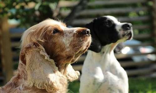 Il segugio è un cane da caccia le cui razze sono state selezionate artificialmente nel corso degli anni dall'uomo.