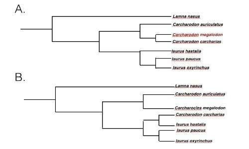 In a e in B due cladogrammi che ripercorrono la storia evolutiva di Megalodonte. In A in cladogramma che vede lo squalo gigante imparentato con lo squalo bianco, in B la filogenesi oggi più accreditata