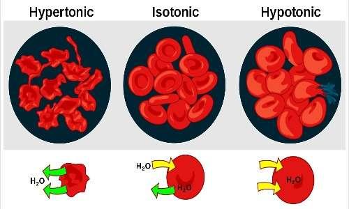 Il processo di osmosi cellulare riguarda sia l'uscita che l'ingresso di acqua dalla cellula, a seconda della concentrazione della soluzione in cui essa è immersa
