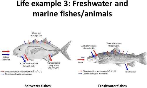 Il processo di osmosi cellulare è fondamentale per la vita dei pesci. Un pesce di acqua dolce non può sopravvivere in acqua salata e viceversa, poiché l'equilibrio dell'osmoregolazione viene rotto