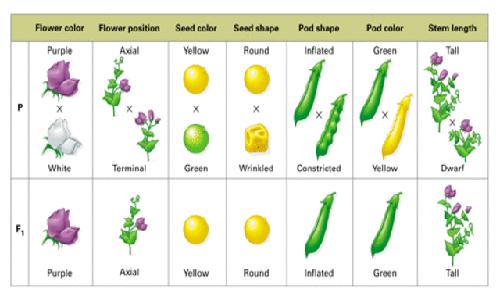 La pianta del Pisum sativum è stata al centro delle teorie descritte dalle leggi di Mendel.