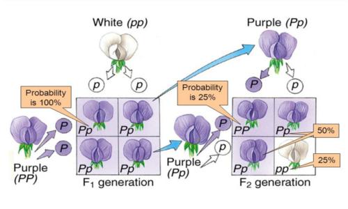 Mediante le leggi di Mendel è possibile predire come verranno ereditati dai figli alcuni caratteri genetici dei genitori.
