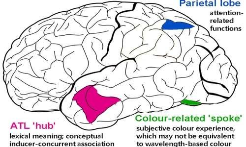 La sinestesia determina alterazioni anatomo-funzionali nel cervello dei soggetti sinestetici.