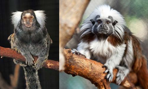 Un test sulla pazienza dei primati ha messo a confronto l'autocontrollo medie di due specie di scimmie per studiarne l'origine del comportamento.