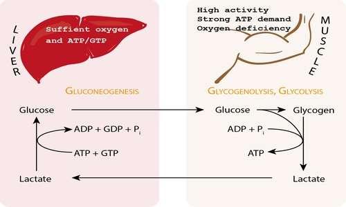 L'acido lattico permette di formare glucosio a partire dal piruvato grazie al ciclo di Cori.