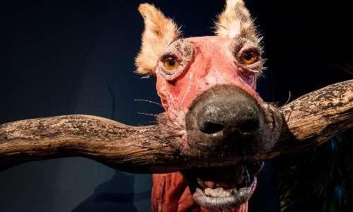 La plastinazione permette di conservare ed esibire a studenti oppure a curiosi osservatori anche corpi di animali