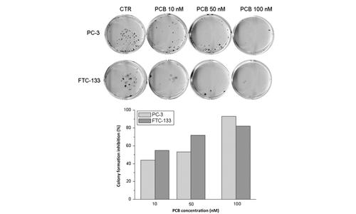Le linee cellulari tumorali sono state trattate con alga Klamath, evidenziando un'inibizione dose-dipendente della formazione delle colonie.
