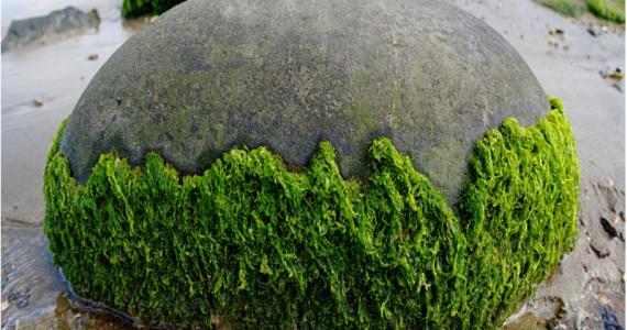 Nel Lago Upper Klamath (Oregon) crescono le omonime alghe.