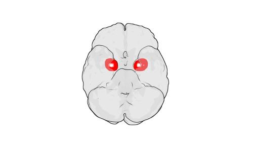 L'amigdala, parte del cervello che controlla le emozioni, è responsabile delle classiche reazioni a un primo amore: battito cardiaco, ansia, farfalle nello stomaco.