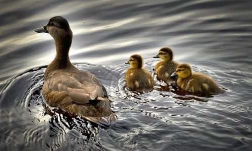 Il primo amore realizzerebbe nell'uomo un processo simile all'imprinting, attraverso cui gli animali imparano come reagire agli stimoli esterni.