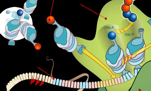 codice genetico traduzione con catena polipeptidica in espansione