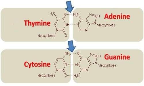 immagine che mostra la struttura chimica delle basi che compongono l'RNA, con l'uracile al posto della timina, e l'appaiamento caratteristico tra le basi canoniche