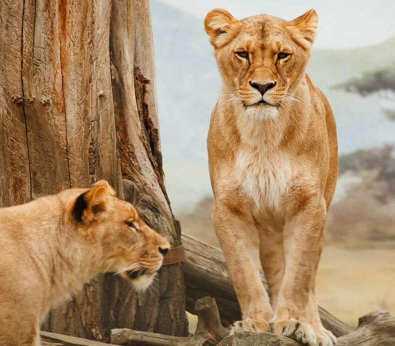 I grandi felini sono animali straordianari e sono la manifestazione di quanto sia incredibile l'evoluzione delle specie viventi.