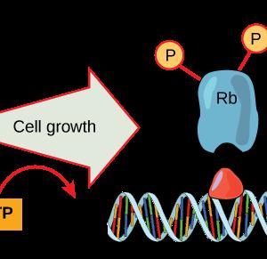 codice genetico espanso con aminoacidi già fosforilati