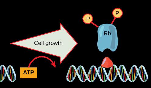 codice genetico espanso applicato alla generazione di aminoacidi già fosforilati