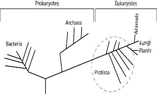 Albero della vita in cui si trovano anche i protisti, organismi distinti degli altri gruppi
