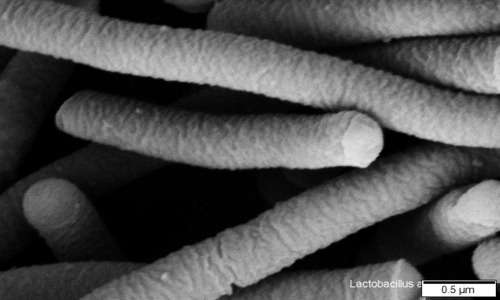 Fotografia al SEM di L. acidophilus, un lattobacillo protagonista di numerosi processi fermentativi