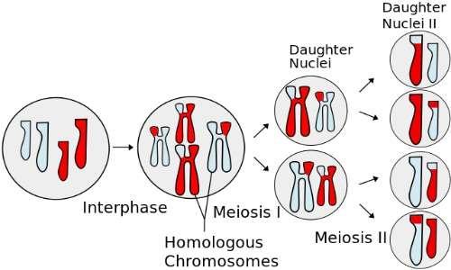 immagine del crossing-over identificabile nel colore chimerico dei cromosomi nel primo stadio di divisione meiotico.