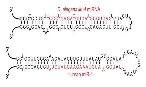 Una classe di RNA interferente, il miRNA, con particolari strutture a stem-loop.