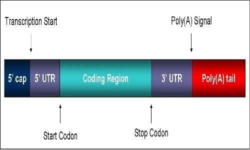 struttura lineare di un RNA messaggero. Si evidenziano la regionre codificante e le due UTR, il Cap e la coda di poli(A)
