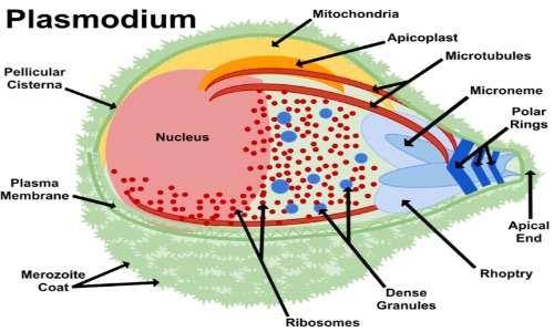 I protisti includono i Plasmodi, la cui struttura è mostrata sopra.