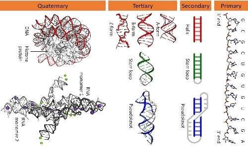 Sono qui mostrati vari organizzazioni strutturali dell'RNA di tipo primario, secondario, terziario e quaternario.