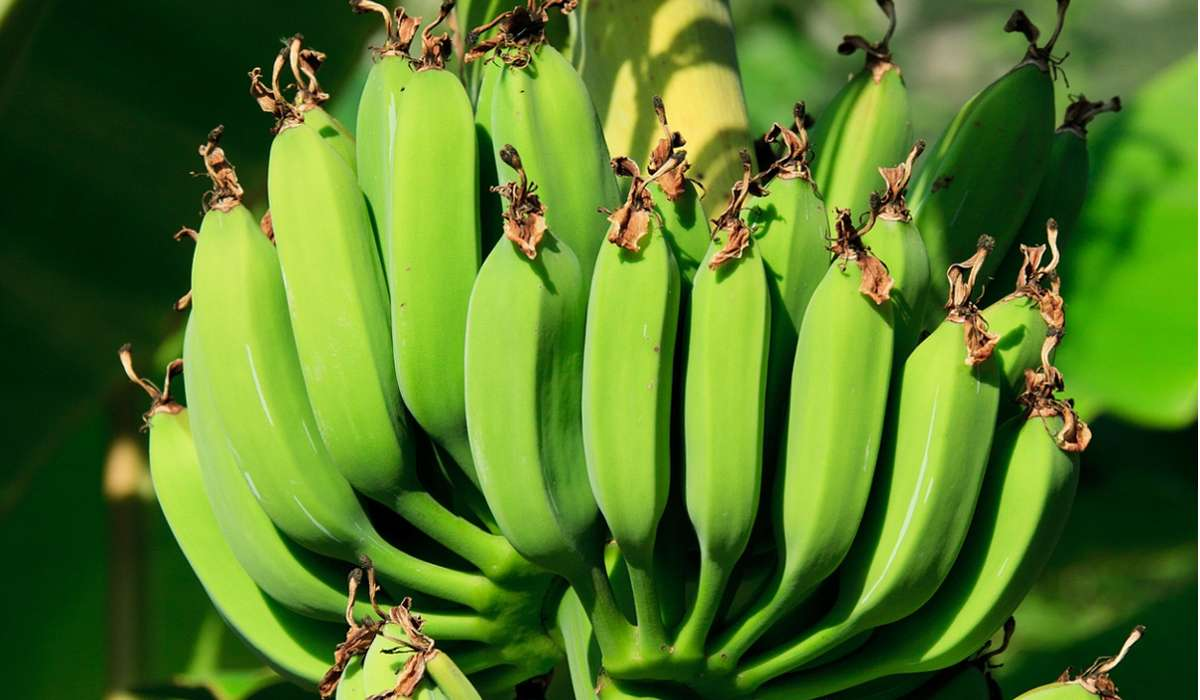 A quale di questi gruppi appartiene una pianta di banane?