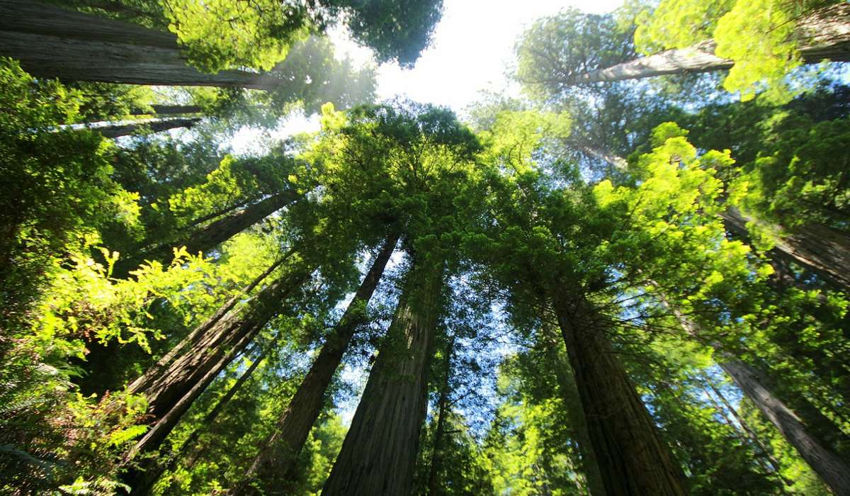 L'albero più alto del mondo è Hyperion, una sequoia sempre verde. Quanto misura la sua altezza?