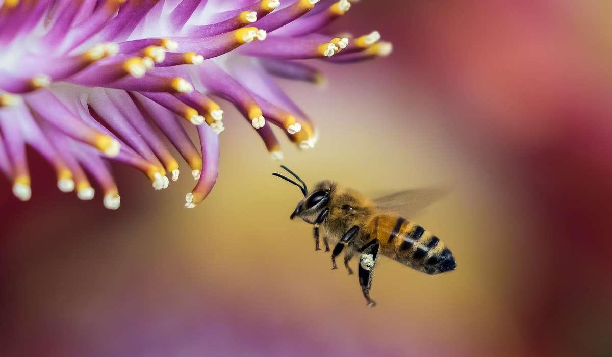 Le ali di un'ape possono compiere 20 mila battiti al secondo.