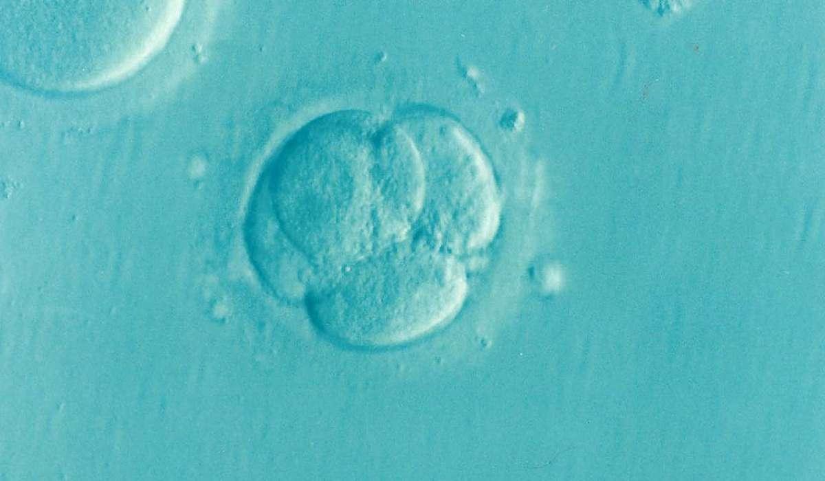 L'embrione è il primo stadio dello sviluppo di un organismo eucariote diploide.