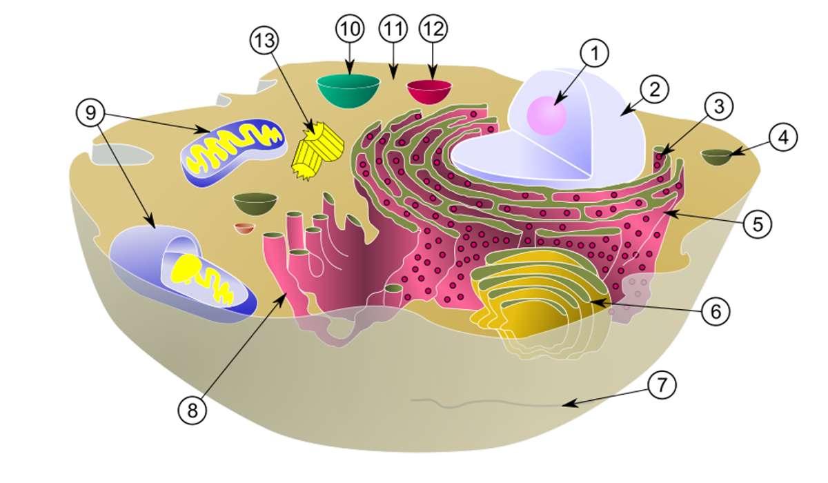 Da cosa è monitorato il ciclo cellulare negli eucarioti?