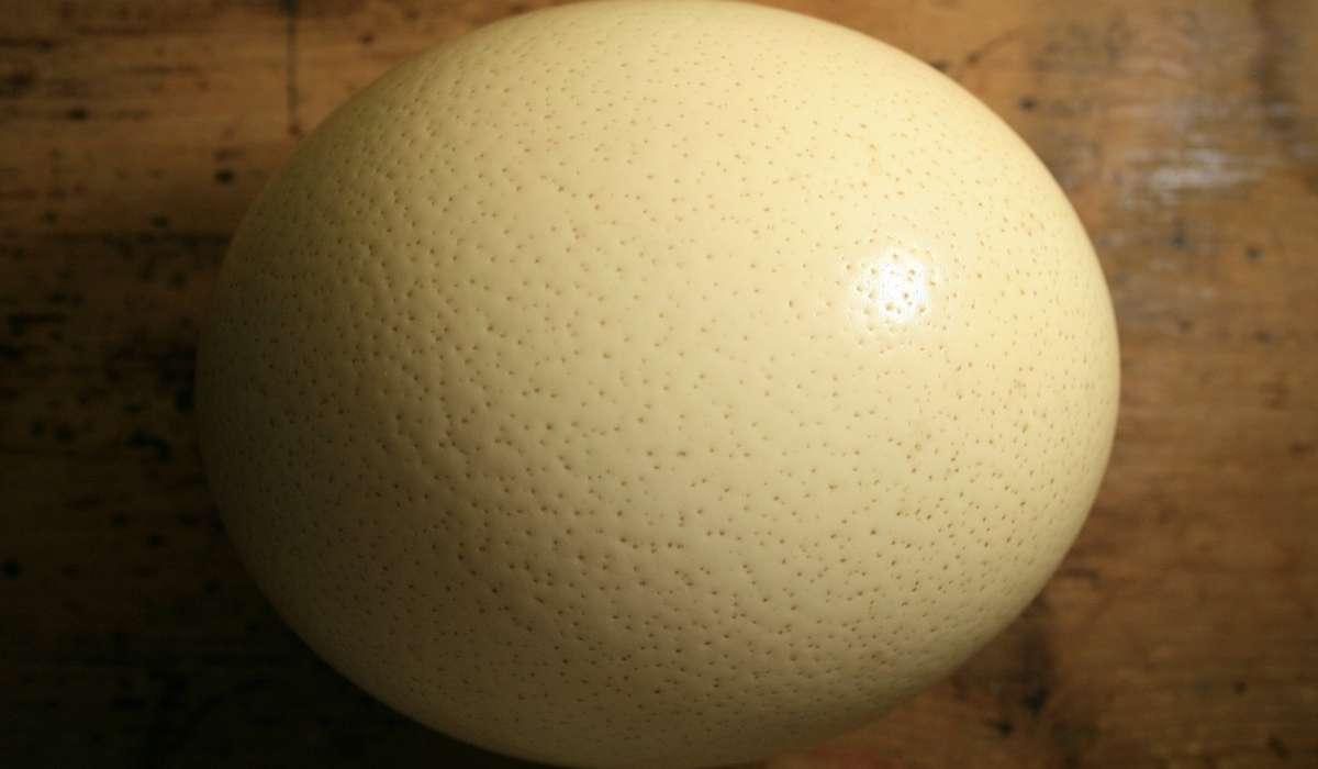 Quale specie di uccello depone l'uovo più grande?