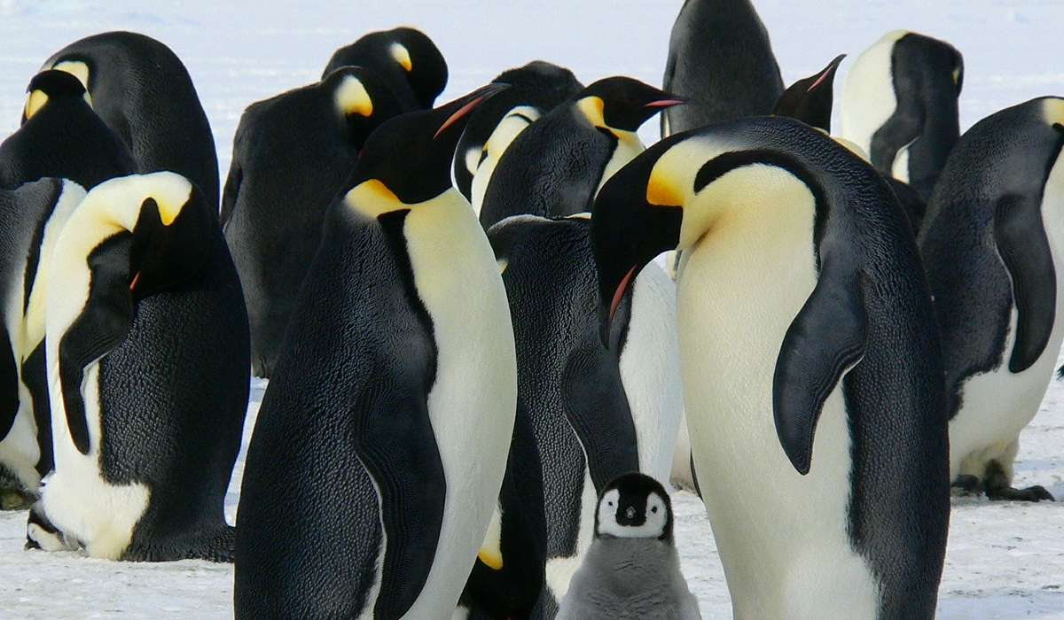 Qual è la razza più grande di pinguino?