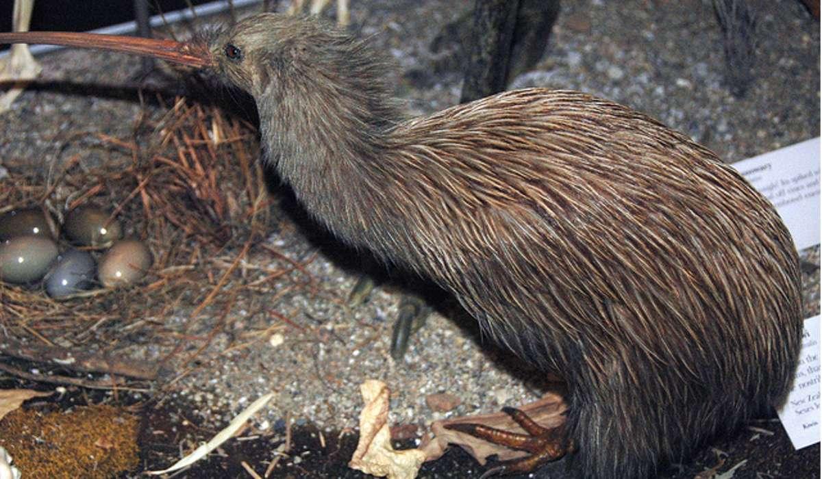 Quante specie di kiwi esistono in natura?