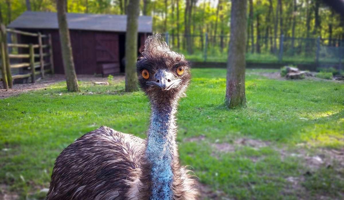 Quanti giorni impiega l'emù per incubare le uova?