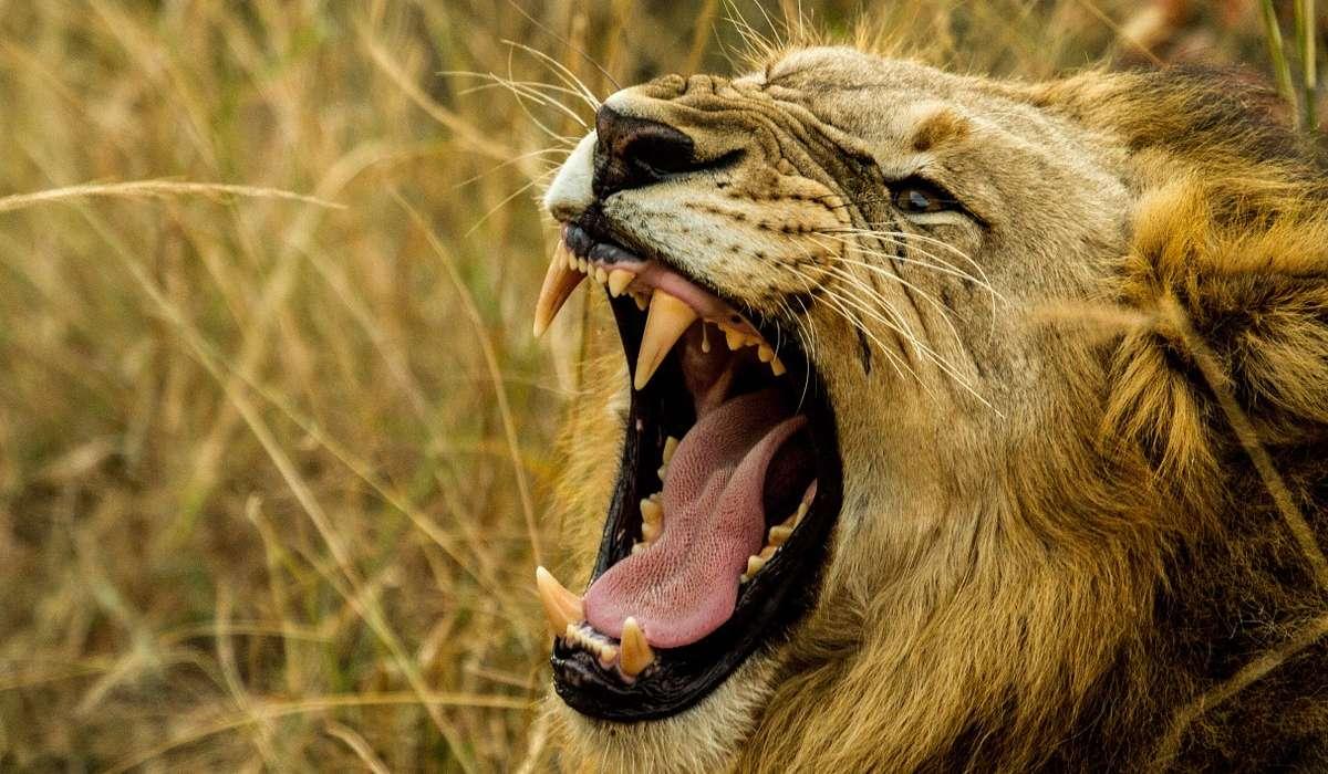 Verso del leone