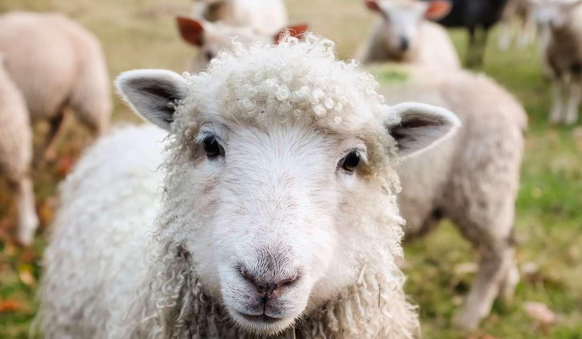 Verso della pecora