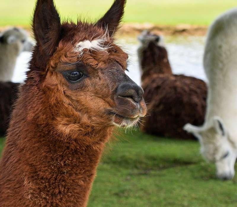 Quiz su quanto sai sugli alpaca e il loro mondo. Metti alla prova le tue conoscenze sugli animali.