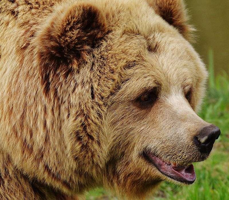 Un quiz sugli orsi per verificare di essere sempre al corrente di tutte le informazioni su questo grande e grosso animale protetto.